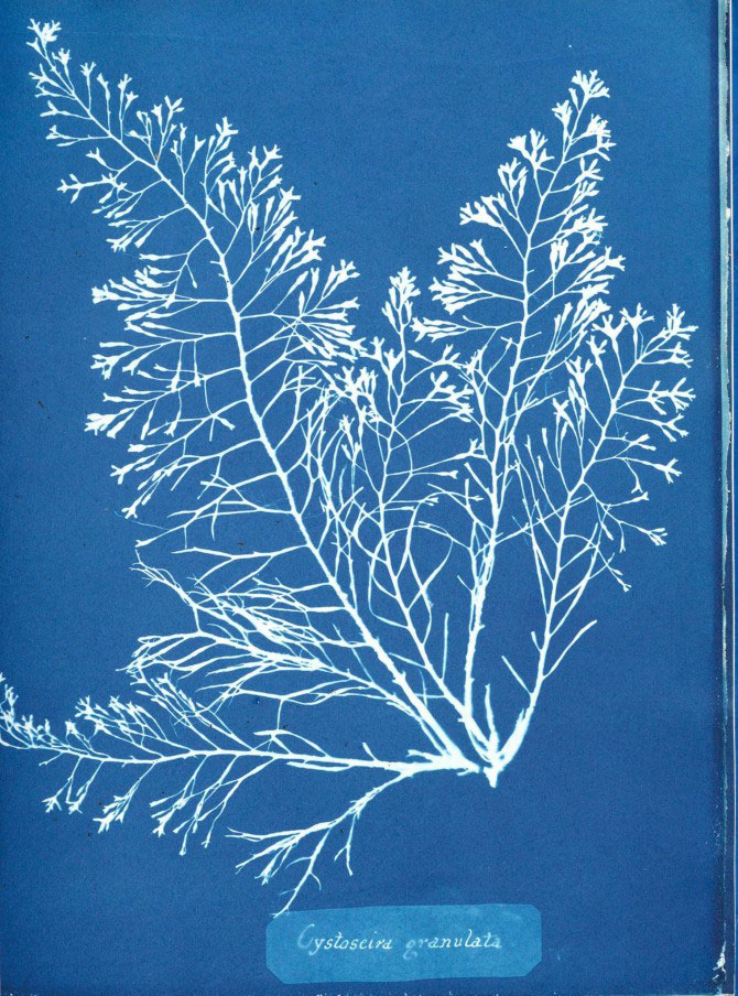 "Anna Atkins' ""Photographs of British Algae: Cyanotype Impressions (1843–53)"""